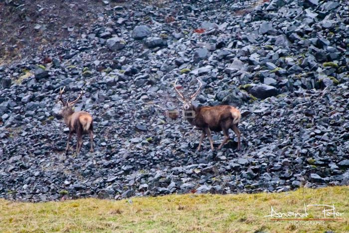 The Scottish Highlands - Deer